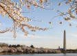 Washington DC cherry blossoms and monument
